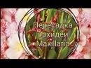 Пересадка орхидеи maxillaria. Пересадка максилярии.