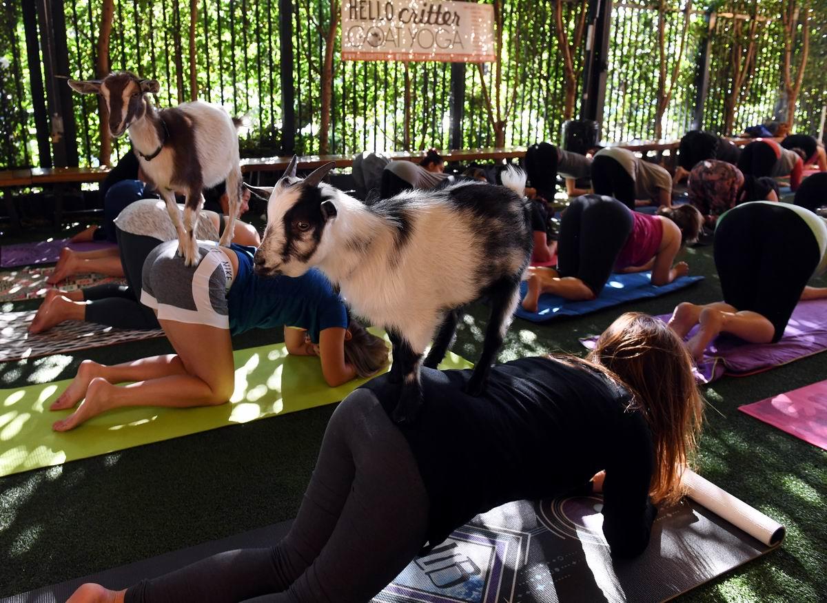 По женским спинам как по скалам: Козья йога