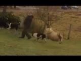 Как ведет себя овца, воспитанная собаками. Хохотал до слез ))))