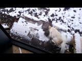 22.10.2017 Первый снег. Мопс Джульетта и чихуахуа Мелисса.