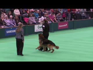 Obedience Dog Championships - Day 3 - Crufts 2013 (Jenny Gould  Zankanja Bitter N Twisted)