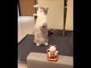 Котей повторяет за игрушкой (6 sec)
