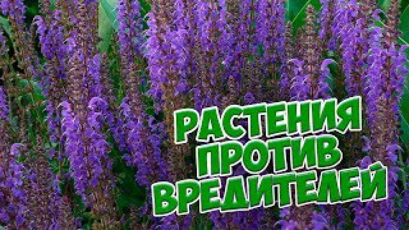 Растения против насекомых вредителей 🌟 Обзор от HitsadTV