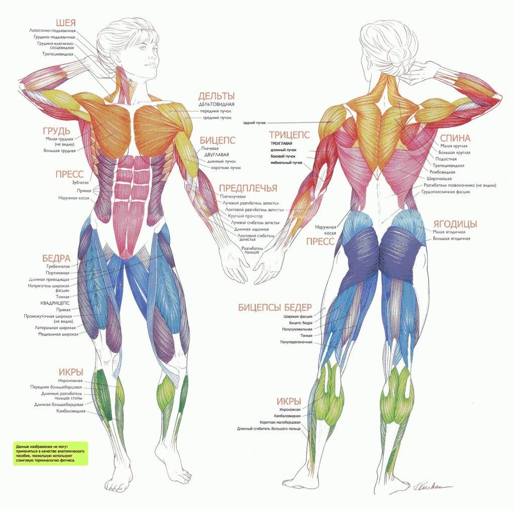 Общие данные о строении человеческого тела