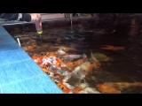 Таиланд ( г. Сирача ) Кормление рыбок в тигрином зоопарке