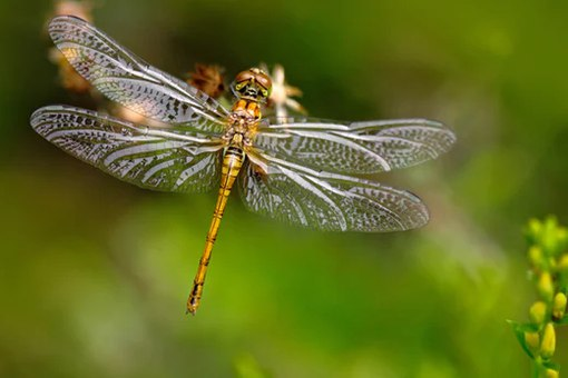 how does a dragonfly survive in Kids learn about the dragonfly, fast flying acrobatic insects of many colors that eat mosquitoes parents and teachers where do dragonflies live.