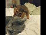 Кинжаку и кот