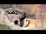 Смешные и милые панды