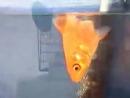 Змееголов против Золотой рыбки 2