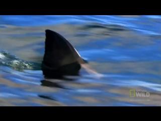 """Белая акула (""""Пиратская"""" песня А. Городницкого)"""