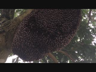 Танец пчелиного роя