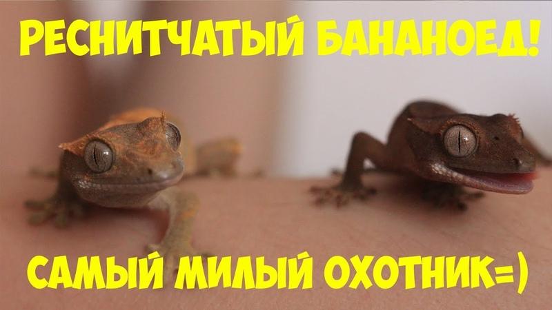 Паук мне друг 11 Реснитчатый геккон бананоед Знакомство Содержание
