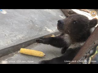 Кукуруза и три медвежонка :) медведи.тайган. corn and three bears cubs :) taigan.