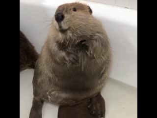 Oh my gosh i am an adorable beaver!!!