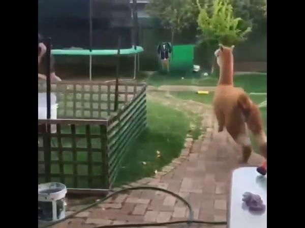 Alpaca as a pet