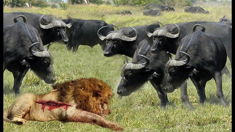 La furia del búfalo momentos increíbles