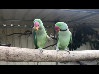 Parrot Doesn't Want to Share Food And Keeps Pushing Another Parrot Away - 1072165