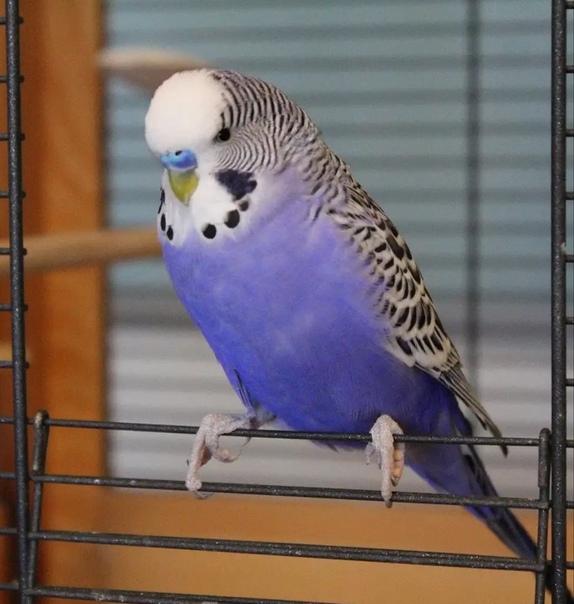 этом волнистый сиреневый попугай фото видно