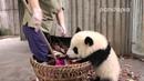 Panda cub and nanny's war