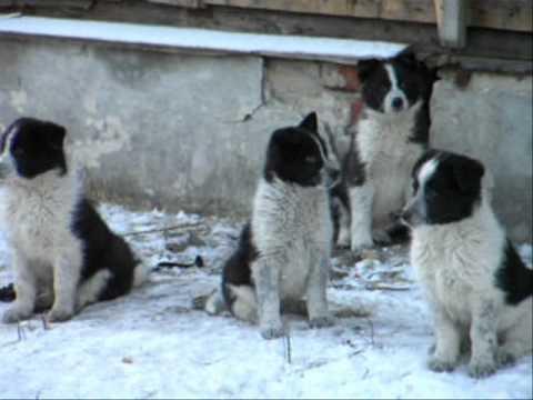 Собаки в городе Печора