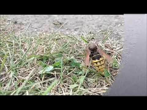 шершень и стрекоза(убийство стрекозы)
