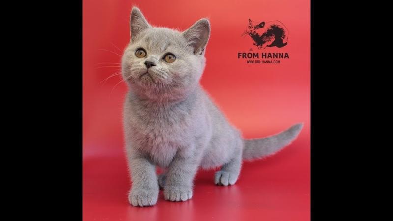 British kitten Frodo from Hanna
