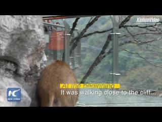 Дикий кабан забежал на стеклянную тропу в Ханчжоу