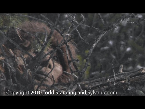Todd Standings Sasquatch videos and Discovering Bigfoot footage