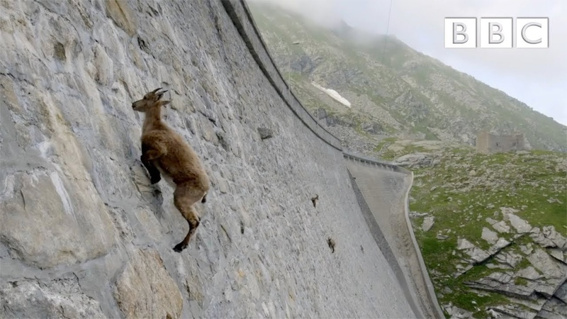 The incredible ibex defies gravity and climbs a dam Forces of Nature with Brian Cox BBC