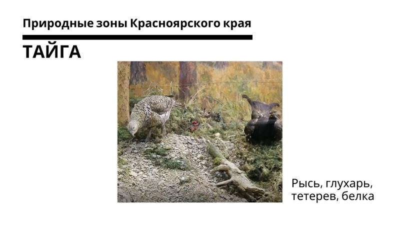Сибирская тайга рысь глухарь тетерев белка