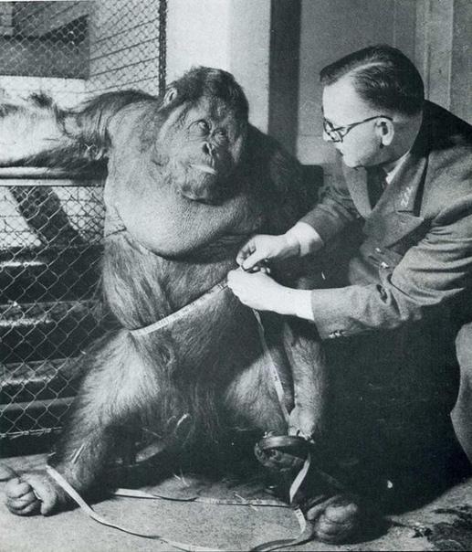 В 1955 году в Лондонском зоопарке одним из главных любимцев публики был шестилетний орангутан Мистер Джиггс