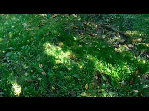 Самосев Манчжурских Абрикосов — самые мощные деревья в будущем