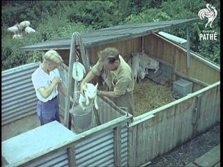 Pig Research Aka Piggery (1958)
