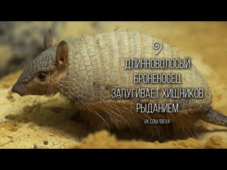 Weeping_vocalization_of_the_screaming_hairy_armadillo_(chaetophractus_vellerosus)