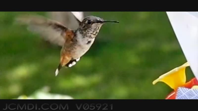 600fps Slow Motion Hummingbird Feeding Closeup Upscaled to 720pHD