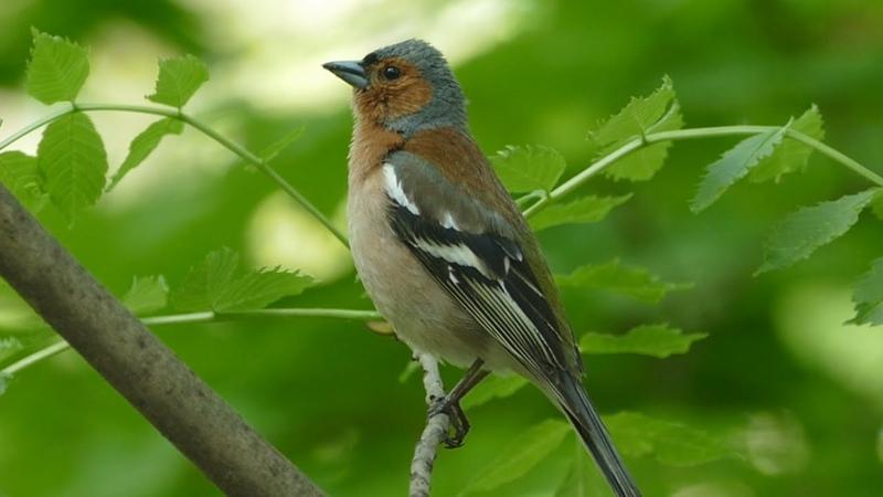 Пение зяблика Голоса птиц Common chaffinch song AllVideo