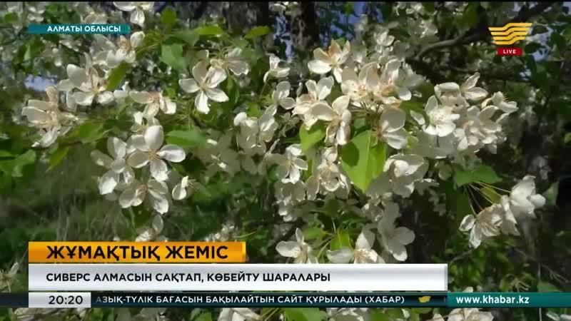 Алматы облысында Жетісудың брендіне айналған сиверс алмасын сақтап көбейту жұмыстары қызу жүріп жатыр