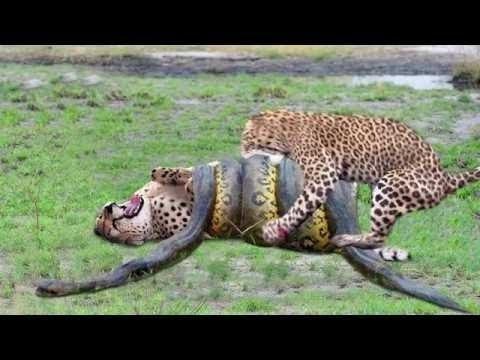 Quá đói Khát Dám cả gan xơi tái chú mèo con chúa đầm lầy vs Trăn kinh điển Giúp Báo Trả Thù