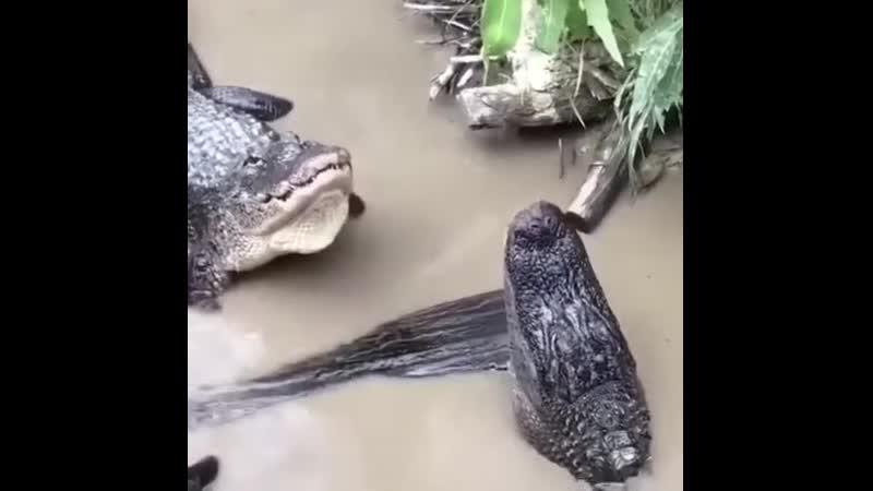 О чём крокодят крокодилы