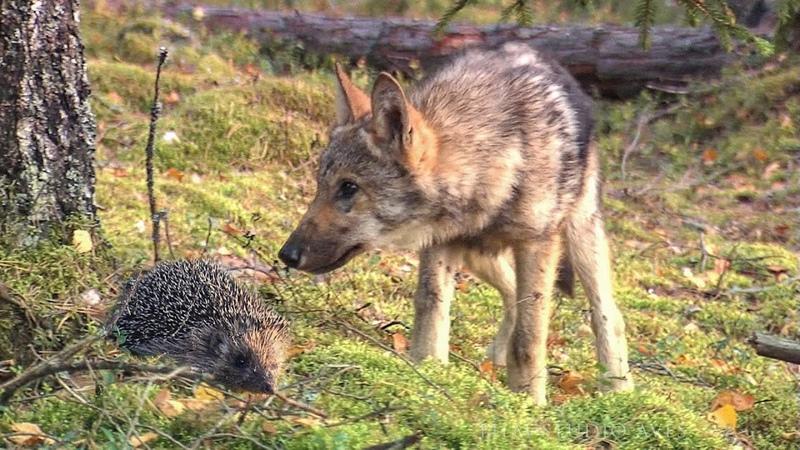 Волчата и ёж Иголки против острых зубов Film Studio Aves