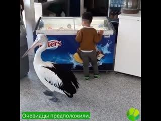 Очень терпеливый пеликан стоит в очереди