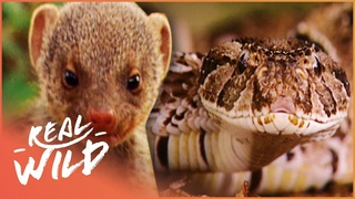 Mongoose Defend Their Young Against Deadly Snake In Intense Face-Off | Nature's Babies | Real Wild