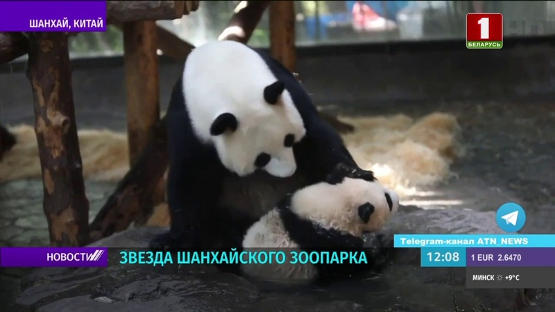 Шестимесячный панда Цзяцай настоящая звезда Шанхайского зоопарка