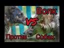 Волк против Собак. 1 сезон 0 серия