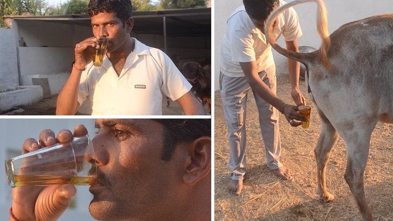 Men Using Cow's Urine To Fight Disease