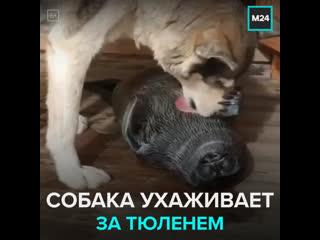 Собака ухаживает за детёнышем тюленя — Москва 24