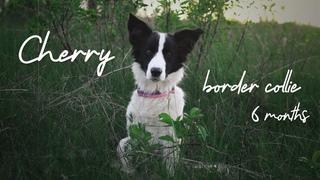 Cherry Border Collie - 6 months [tricks]
