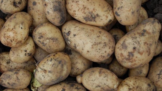 В Алтайском крае будут выращивать картошку для чипсов Lay's
