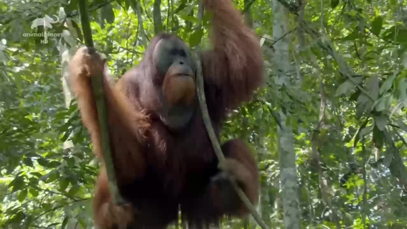 Animal Planet ᴴᴰ Неизведанные острова Индонезии Царство драконов