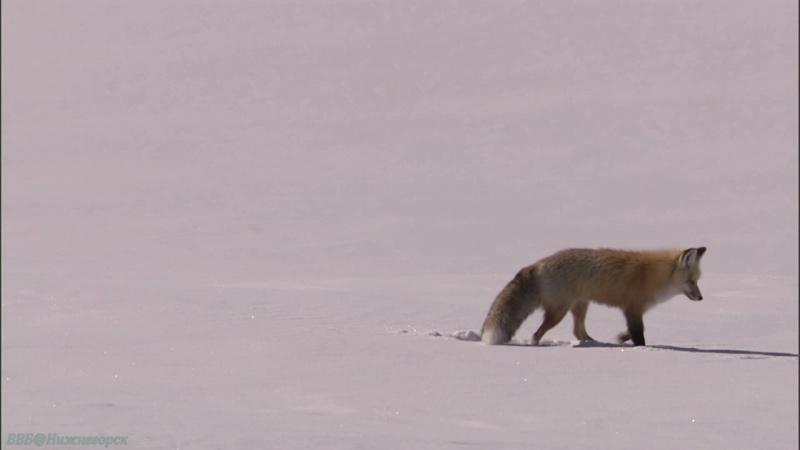 BBC Йеллоустоун Борьба за жизнь 1 Зима Документальный природа животные 2009